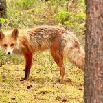 a-wary-fox-eyes-gerrys-lens