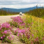 wildflowers-explode-during-the-short-boreal-summer