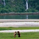 a-grizzly-duet-dances-at-dusk