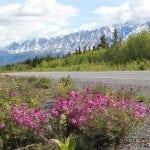 wildflowers-adorn-the-road-between-kluane-yukon-and-haines-alaska