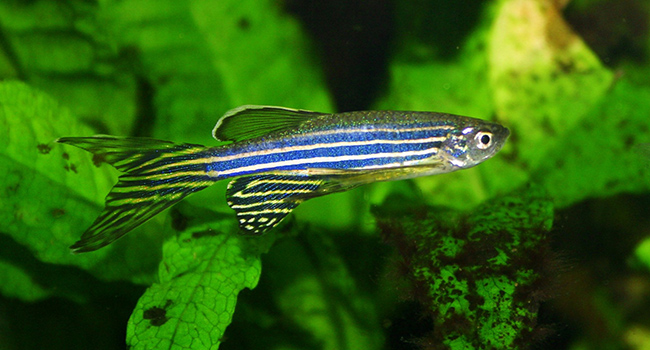 zebrafish nicotine withdrawl addiction