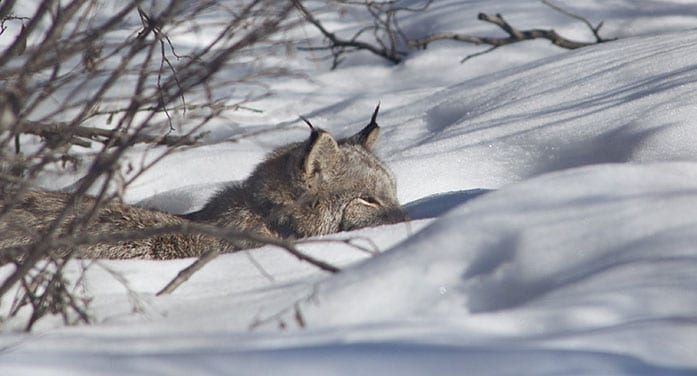 Canada lynx wildlife nature winter