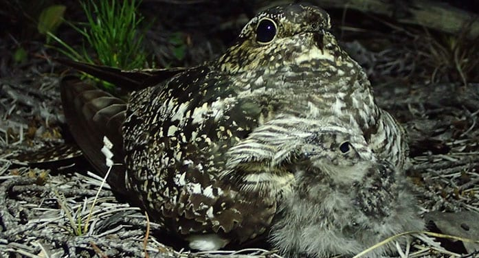 mother nightjar with chick conservation, science