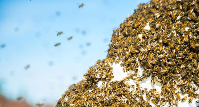 bee swarm insects nature