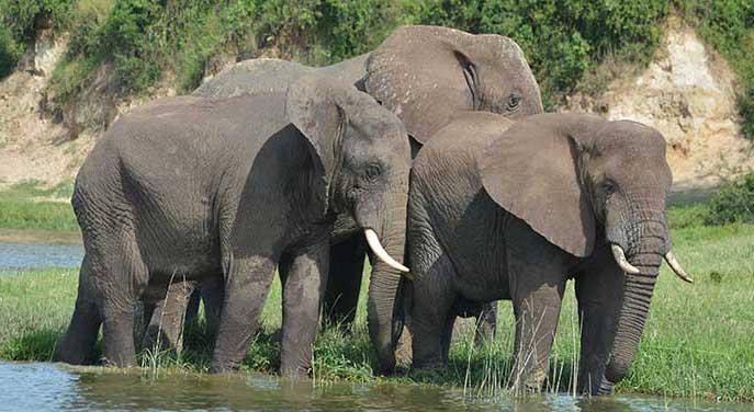 elephants nature wildlife animals