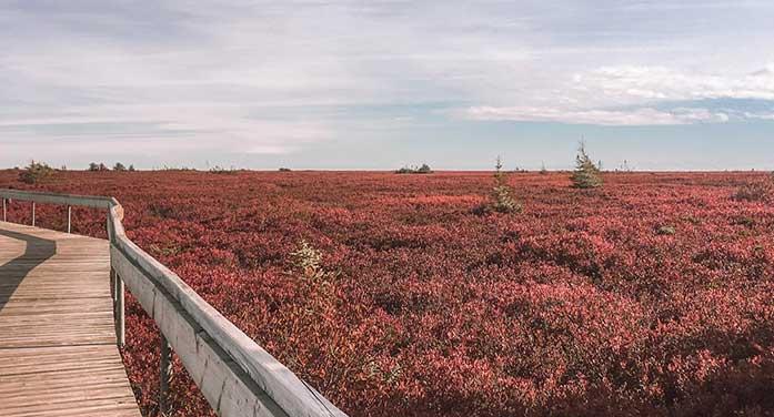 Miscou Island Acadian Peninsula New Brunswick Atlantic Canada flowers