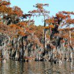 Bald cypress in winter plumage