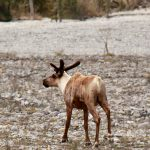 a-solitary-caribou-near-muncho-lake-bc