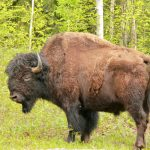 with-springs-arrival-a-wood-bison-sheds-its-winter-coat